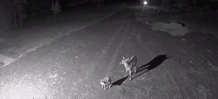 Arlo Night Vision Feature - Deer and Fawn
